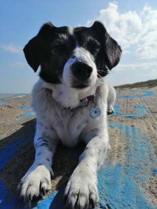 photo description: Harper Lee, a little white rescue dog with black spots, black nose, face and ears stares at the camera. She is stretched out on a rock with blue paint on. There is blue sky and clouds.